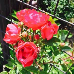 庭のバラ2015年5月14日