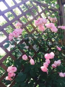 ピンクのバラ取手unnamed