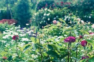 薔薇の咲く庭