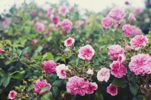 雨の日のバラ