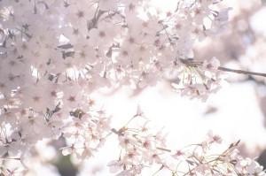 うららかな春の桜