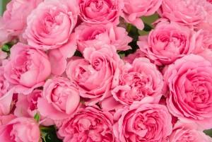 ピンクのバラのテクスチャ