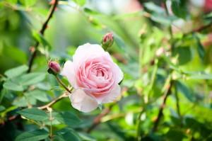朝の光とピンクのバラ