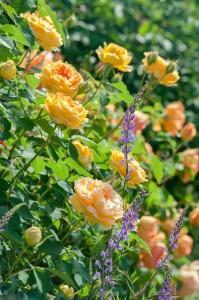 黄色のバラとラナリア